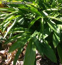 Zingiber (Elettaria) cardamomum - CardamomClick to see full-size image