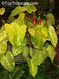 Philodendron 'Painted Lady', Painted Lady  Click to see full-size image