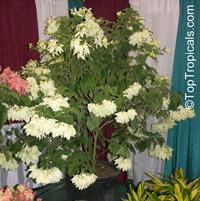 Mussaenda philippica Dona Aurora, Mussaenda  Click to see full-size image