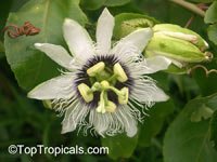 Passiflora sp., Passion Flower
