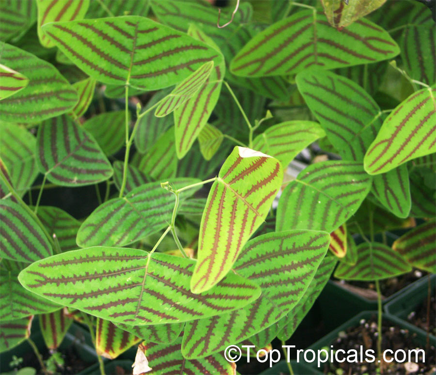 Which Plant Was Native To The New World: Christia Obcordata, Christia Subcordata, Lourea Obcordata