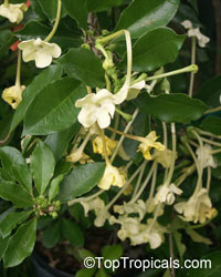 Brunfelsia maliformis - Lady of the Night  Click to see full-size image