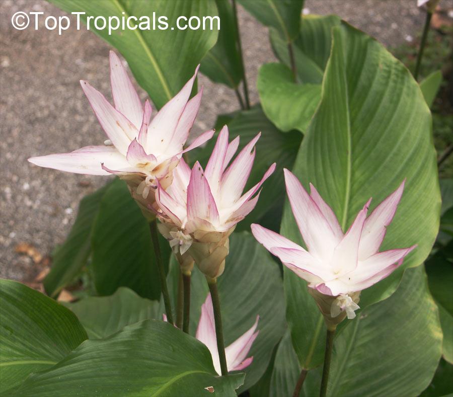 Calathea loeseneri brazilian star calathea Calathea plants for sale