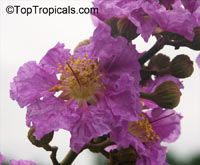 Lagerstroemia speciosa, Lagerstroemia flos reginae, Queens Crape Myrtle, Queens flower, Pride of India, Banaba.Click to see full-size image
