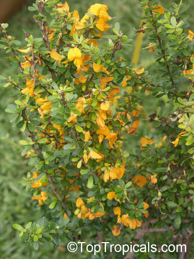 Jamaican Ebony Bonsai Tree 116