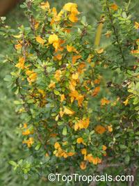Brya ebenus, Aspalathus ebenus, Jamaican Rain Tree, Ebony Coccuswood, Grenadilla, Granadilla, Jamaican Ebony, West Indian Ebony  Click to see full-size image
