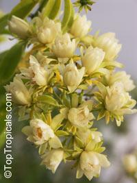Pereskia aculeata, Barbados Gooseberry, Lemon Vine, Tsunya, Perescia  Click to see full-size image