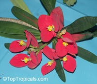 Euphorbia punicea, Jamaican Poinsettia