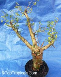 Bursera fagaroides, Elephant Tree, Fragrant BurseraClick to see full-size image