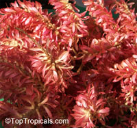 Triplaris surinamensis, Blochmannia weigeltiana, Triplaris cumingiana, Long John, Mulato Tree, Ant Tree, Vara de Maria  Click to see full-size image
