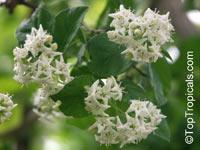 Ehretia anacua, Anaqua, Knockaway, Sandpaper Tree  Click to see full-size image
