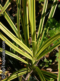 Pandanus baptistii, Variegated Dwarf Pandanus, White-striped PandanusClick to see full-size image