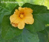 Sida fallax, Yellow 'ilima  Click to see full-size image