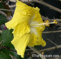Hibiscus Kinchens Yellow, Hibiscus Kinchens Yellow  Click to see full-size image