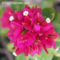 Bougainvillea arborea Dwarf, Dwarf Bonsai Bougainvillea  Click to see full-size image