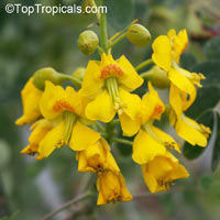 Caesalpinia mexicana - fragrant Yellow  Click to see full-size image