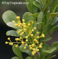 Aglaia odorata, Chinese Perfume Plant, Chinese Rice Flower, Mock Lemon