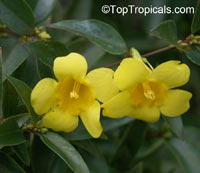 Gelsemium sempervirens, Yellow Jessamine, Carolina Jasmine, Yellow jessamine, Trumpet Flower  Click to see full-size image