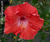 Hibiscus rosa-sinensis, Hibiscus, Chinese rose, Japanese rose, Tropical Hibiscus, Shoe FlowerClick to see full-size image