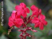 Plumbago indica, Plumbago Rosea, Rose-colored Lead-wort, Chitrakmool, Chekkikotuveri, Chitraka, Shitrapuni, Scarlett Leadwort, Whorled plantain  Click to see full-size image