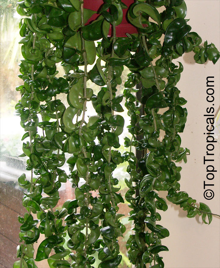 Hoya Carnosa Compacta Hindu Rope Krinkle Kurls Toptropicalscom