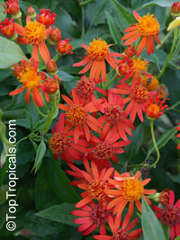 Senecio confusus, Pseudogynoxus confusus, Pseudogynoxus chenopodiodes, Mexican Flame Vine, Orangeglow Vine
