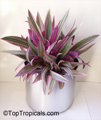 Tradescantia spathacea, Rhoeo spathacea, Tradescantia discolor, Boat lily, Rheo, Oyster plant, Moses-In-The-BoatClick to see full-size image