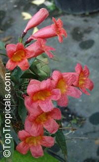 Bignonia Capreolata - CrossvineClick to see full-size image