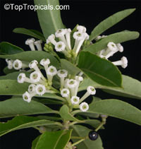Cestrum diurnum, White Chocolate Jasmine, Inkberry, Day Jessamine, Day Blooming Jasmine, China Berry