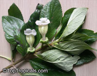 Paliavana tenuiflora, Paliavana  Click to see full-size image