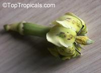 Randia sp. Joseph Fondeur, Atractocarpus sp., Randia  Click to see full-size image