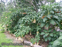 Brugmansia hybrid Peach, Angels Trumpet