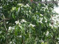 Kopsia pruniformis, Kopsia  Click to see full-size image
