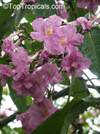 Tabebuia rosea - seeds  Click to see full-size image
