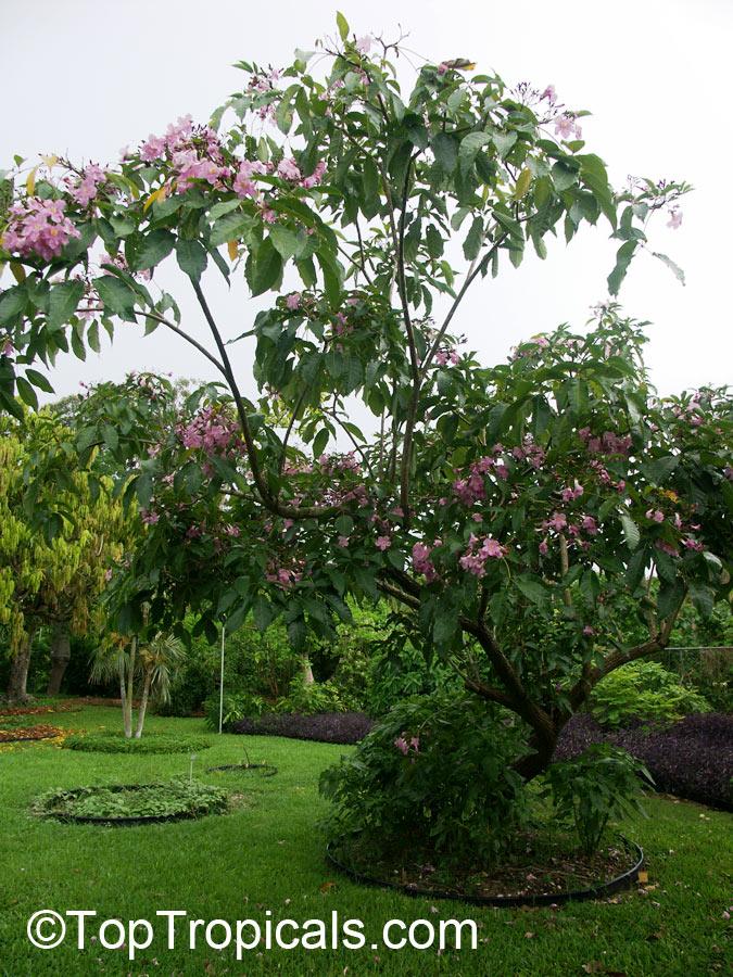 Garden Bush: Tabebuia Rosea, Rosy Trumpet Tree, Pink Poui, Pink Tecoma