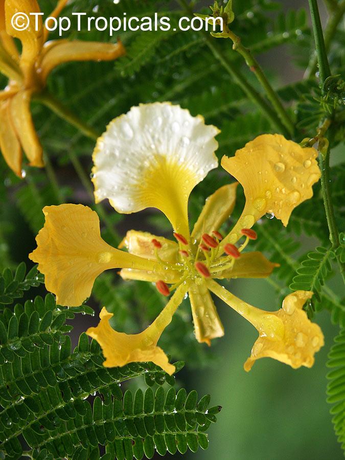 delonix regia var  flavida  golden royal poinciana  yellow