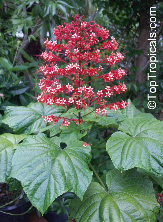 Clerodendrum Paniculatum Pagoda Flower Orange Tower