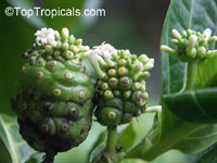 Morinda citrifolia, Noni, Great Morinda, Indian Mulberry, Mengkudu (Malay), Nonu/Nono (Pacific Islands)  Click to see full-size image