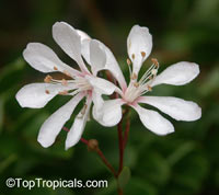 Bejaria racemosa, TarflowerClick to see full-size image