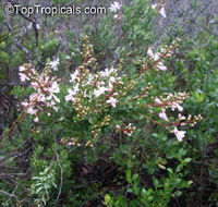 Bejaria racemosa, Tarflower  Click to see full-size image