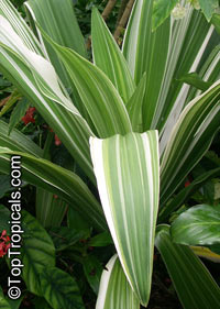 Crinum asiaticum, Swamp lily, River lily, Spider lily  Click to see full-size image