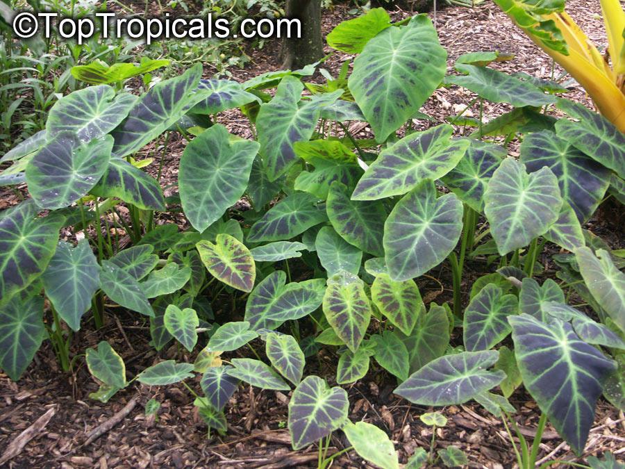 Colocasia sp., Elephant Ear - TopTropicals.com
