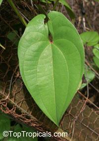Dioscorea alata, Purple Yam, Winged Yam  Click to see full-size image
