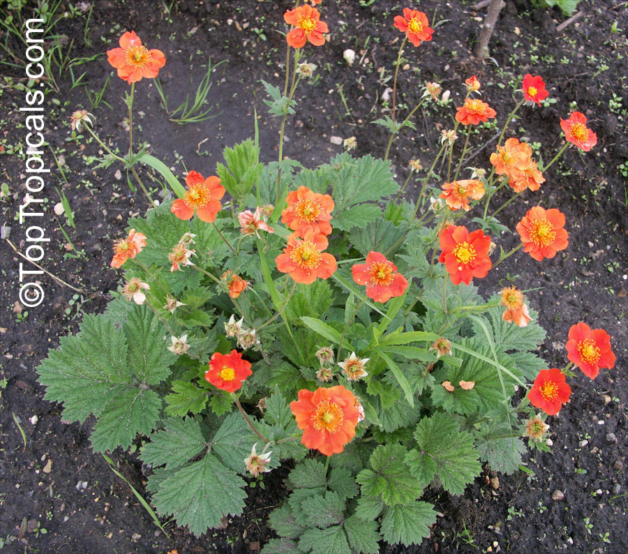 Geum sp avens toptropicals geum sp avens click to see full size image mightylinksfo