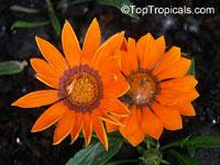 Gazania sp., Gazania  Click to see full-size image