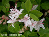 Rhododendron arborescens, Smooth Azalea  Click to see full-size image
