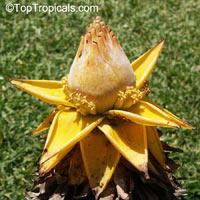 Ensete lasiocarpum, Musella lasiocarpa, Musa lasiocarpa, Chinese Yellow Banana, Golden Lotus Banana  Click to see full-size image