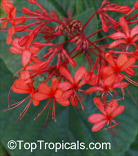 Clerodendrum speciosissimum, Clerodendrum fallax, Clerodendrum japonicum, Java Glorybower, Clerodendron