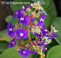 Tibouchina multiflora, Tibouchina grandifolia, Glory bush, Quaresmeira  Click to see full-size image