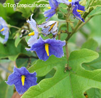 Solanum macranthum, Solanum wrightii, Giant Potato Tree